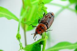 Asian Palm weevil on green Apical bud blurred Focus, Defocus rain drops on orange bug, Raining season concept.
