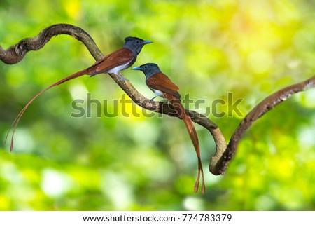 Asian Paradise Flycatcher ,Pair of birds