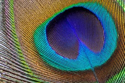Asian peacock feather close uo