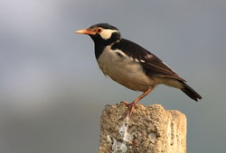 Asian pied starling (Gracupica contra) along the Chambal River