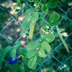 Asian pigeonwings or butterfly pea with blue flower and pods growing on chain link fence trellis in Singapore. Common names bluebellvine, blue pea, clitoria ternatea, cordofan pea and Darwin pea