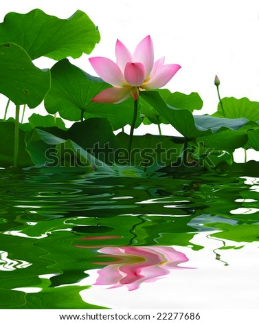asian pink lotus flower