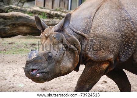 Asian rhinoceros