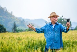 Asian senior man farmer live streaming or vlogging on smartphone in rice paddy wheat field. Elderly male farm owner prepare harvesting wheat crop plant. Agriculture product industry technology concept