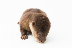 Asian small-clawed otter, also known as the oriental small-clawed otter or simply small-clawed otter isolated white background