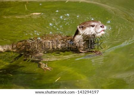 stock-photo-asian-small-clawed-otter-amblonyx-cinereus-swimming-in-fresh-water-143294197.jpg