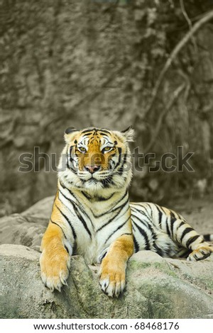 asian tiger on rock with space upside