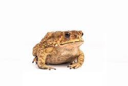 Asian Toad (Duttaphrynus melanostictus) isolated on white background. (This has clipping path)