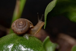 Asian Tramp Snail of the species Bradybaena similaris