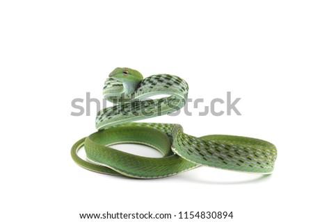 Asian vine snake isolated on white background