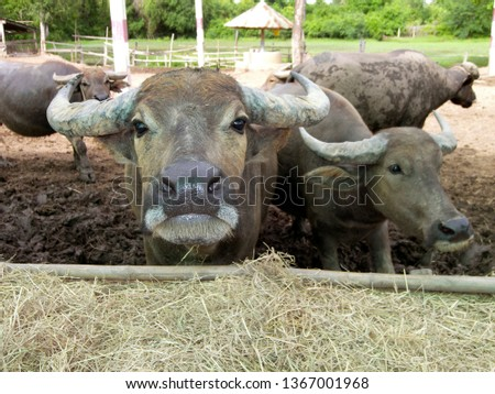 Asian water buffalo (Bubalus bubalis) in Thailand, Southeast Asia, Asia