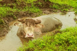 Asian water buffalo enjoy swimming in a mud swamp in nature. Relax and comfortable.