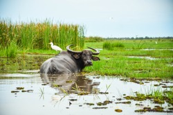 Asian water buffalo enjoy swimming in a mud swamp with a white bird buddy on its back in nature. Thailand traditional agricultural animal background.