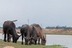 Asian water buffalo in Thailand