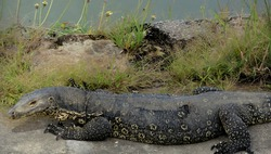 Asian water monitor in the streets of Bandar Seri Begawan, Brunei