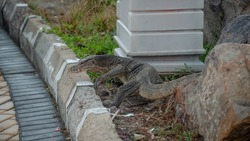 Asian Water Monitor Lizard as known as Malayan water monitor, common water monitor, two-banded monitor, rice lizard, ring lizard, plain lizard crawling and walking on grass and ground beside road.