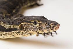 Asian Water Monitor lizard Varanus salvator isolated on a white background