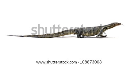 Asian Water Monitor Lizard (Varanus salvator) on white background.