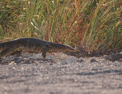 Asian water monitor on ground with grass.