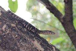 Asian water monitor (Varanus salvator) common monitor lizard on tree habitat.