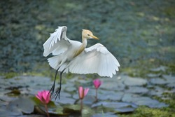 Asian wetland bird Cattle Egret landing to water