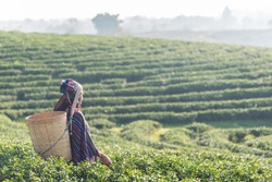 Asian woman working and picking tea leaf in farm tea plantation agriculture.