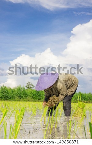 Asian women at work in a rice plantation - stock photo