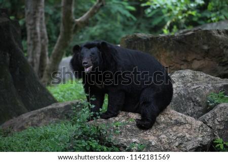 Asiatic black bear #1142181569