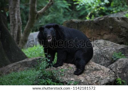 Asiatic black bear #1142181572