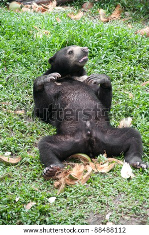 asiatic black bear (selenarctos thibetanus) - stock photo