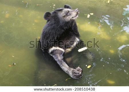 Asiatic black bear, Tibetan black bear,Ursus thibetanus. bear in water.