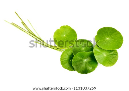 Asiatic Leaf Herb gotu kola, indian pennywort, centella asiatica, tropical herb isolated on white background. ayurveda herbal medicine inhibited or slowed growth of cancer cells Help prevent cancer #1131037259