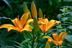 Asiatic Lilies in summertime in New Mexico at the botanical Gardens