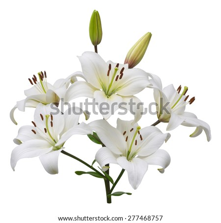 Asiatic lily plant with five flowers and two buds, stem and leaves, isolated on white.