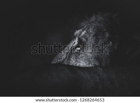 Asiatic lion art