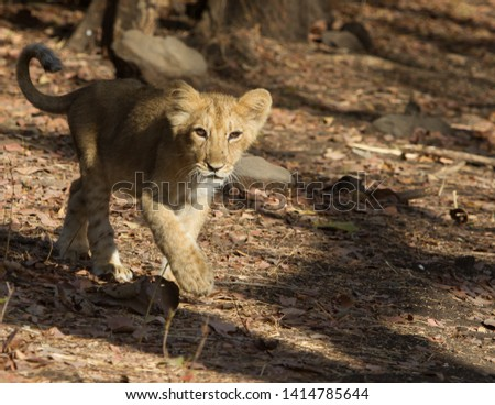 Asiatic Lion Cub coming out of the Jungle in Gir National Park in Gujarat India