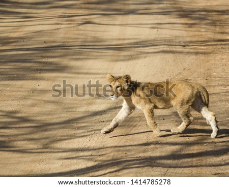 Asiatic Lion Cub crossing the Road tracks in Gir National Park in Gujarat India