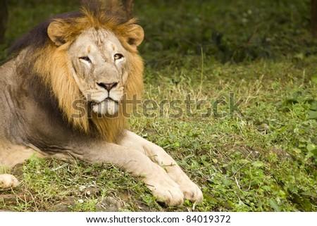 Asiatic Lion, India