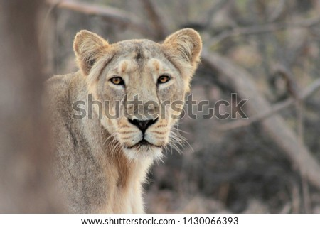 Asiatic lion is a Panthera leo leo population in India. This picture was clicked in Gir National Park.