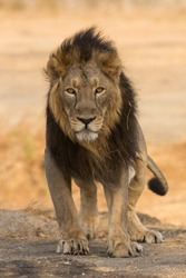 Asiatic Lion king ready to attack front portrait
