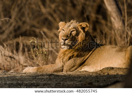 Asiatic Lion resting from Gir Forest