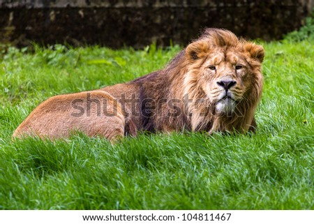 Asiatic lion resting in the grass