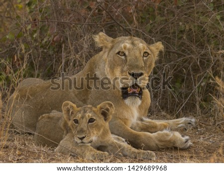 Asiatic lion sub adult male , female and cub in natural habitat in sasan gir india