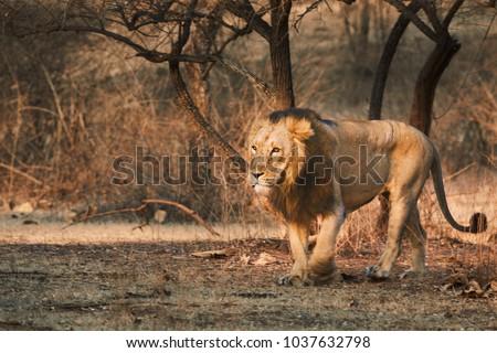 Asiatic Lion Walking freely in Gir Forest