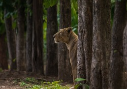 Asiatic Lioness between trees at forest