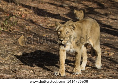 Asiatic Lioness with Cub in the background, Gir National Park in Gujarat India