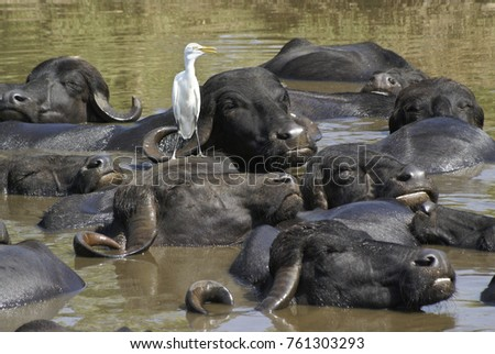 Asiatic water buffalo and cattle egret in wallow, Sasan Gir (Gir Forest), Gujarat, India
