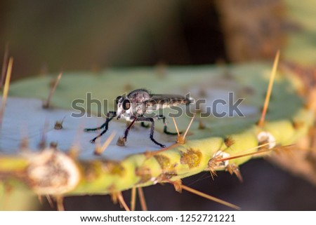 Asilidae, a Robber or Assassin Fly an aggressive carnivorous insect standing on a prickly pear cactus pad surrounded by thorns, waiting in ambush for prey to attack. Pima County, Tucson, Arizona. 2018