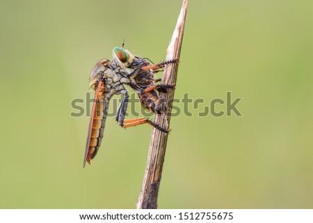 Asilidae adalah famili lalat yang dikenal akan sifatnya yang agresif Stok fotoğraf ©