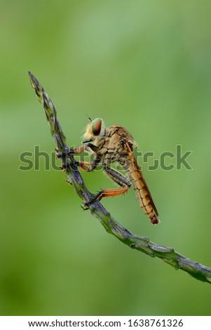 Asilidae adalah famili lalat yang dikenal akan sifatnya yang agresif. Lalat dalam famili ini biasanya memakan serangga lain dan menyergap mangsanya secara diam-diam Stok fotoğraf ©